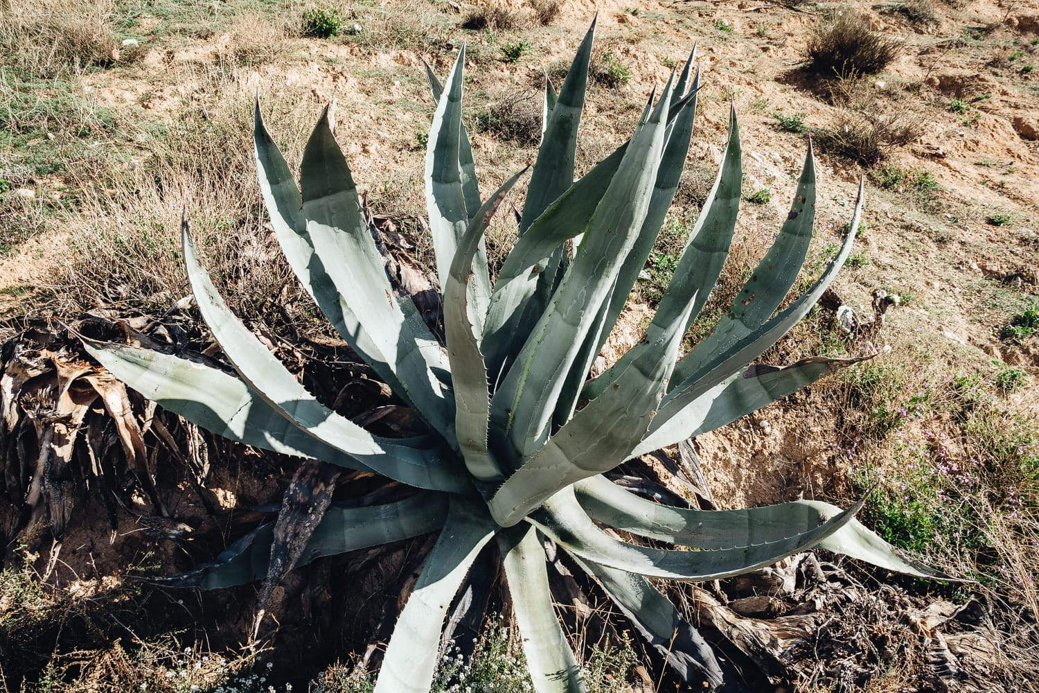 Aloe Vera in Spain