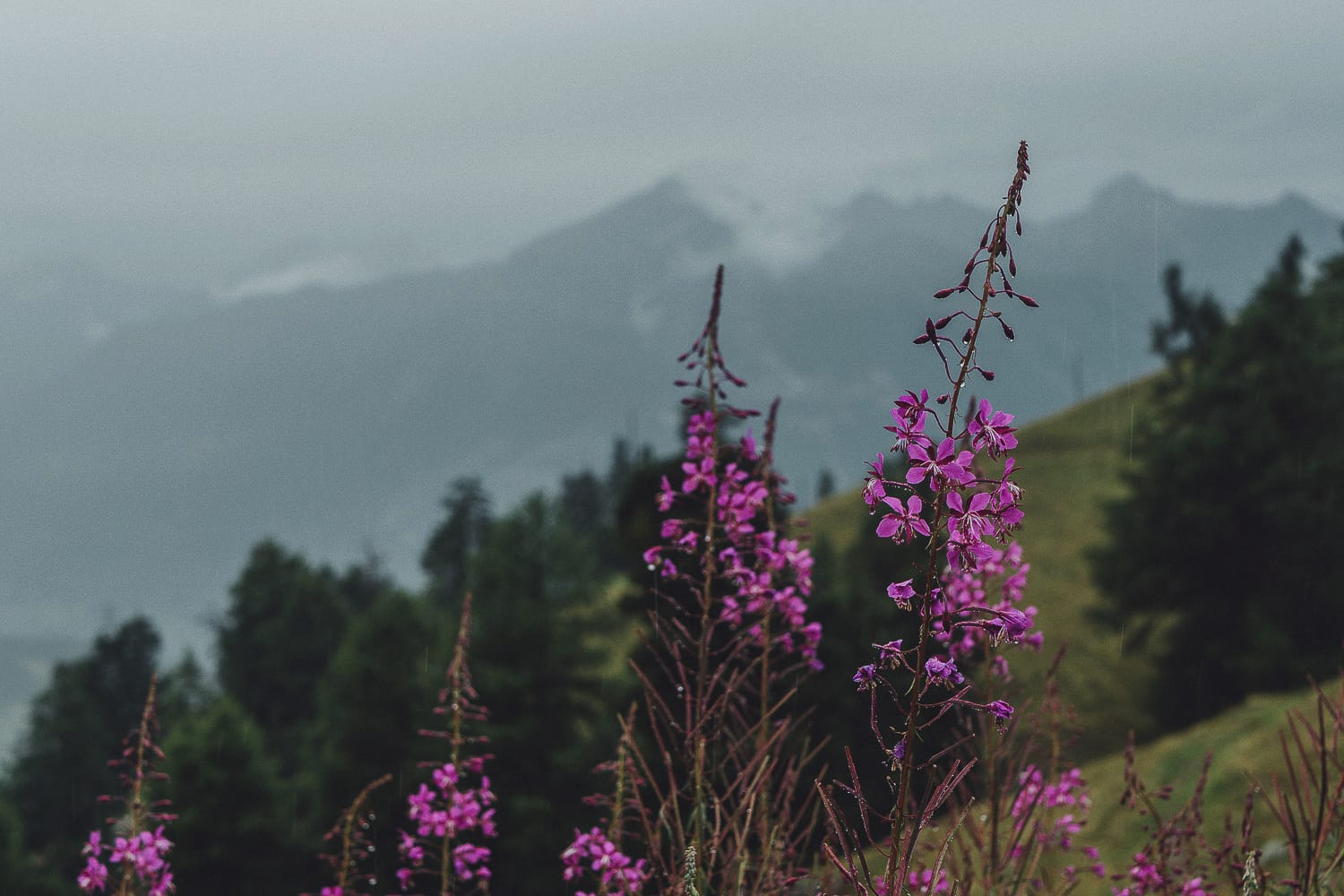 Fireweed in the Swiss alps