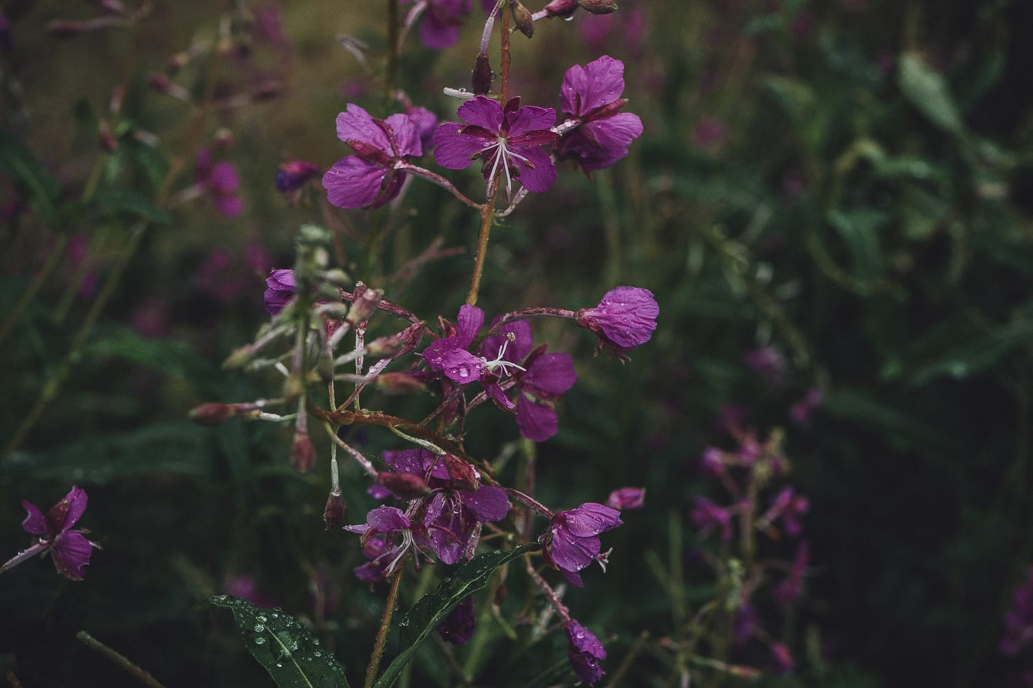 Fireweed in the rain