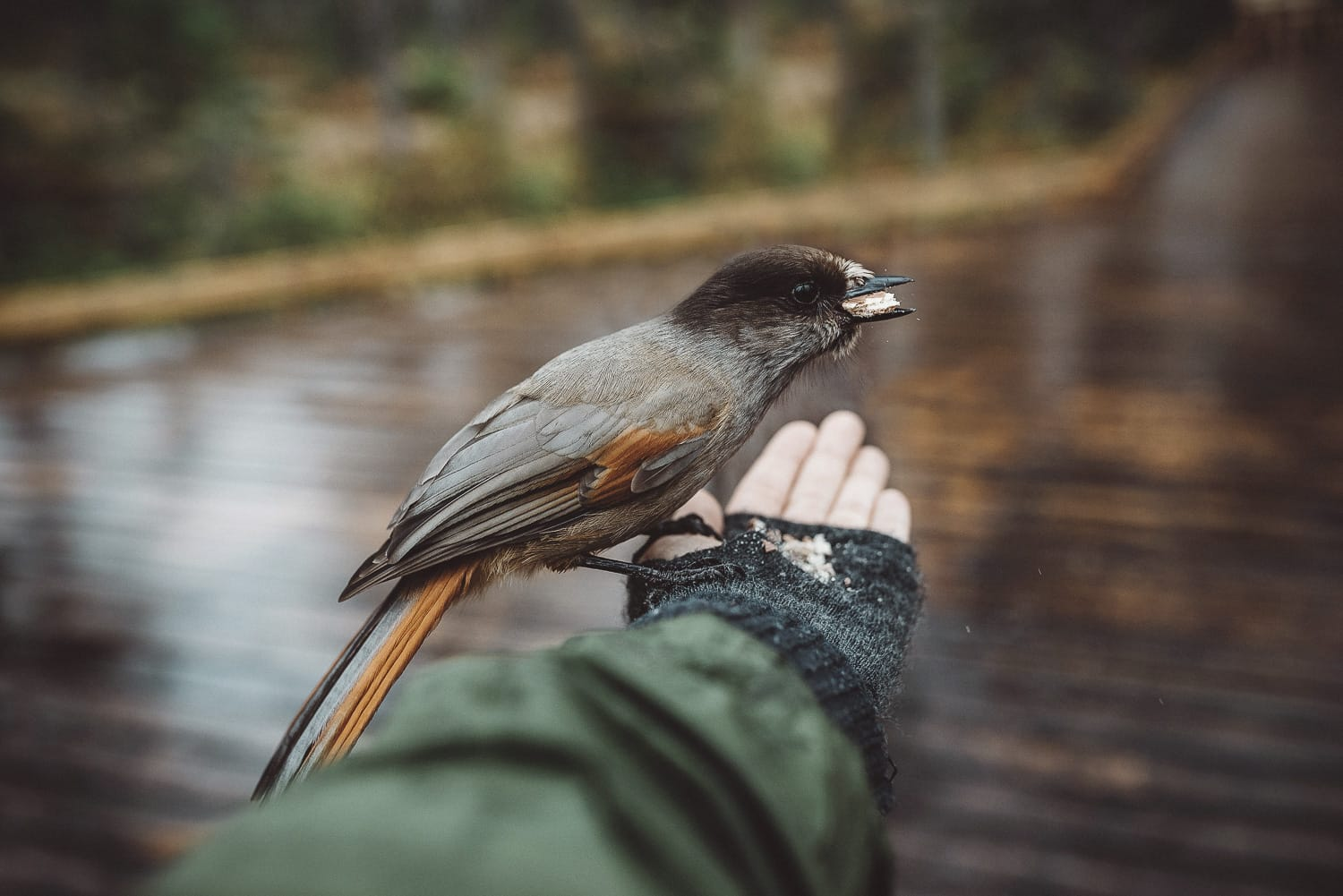 feeding a Siberian jay from the hand