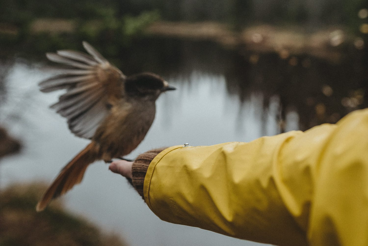 Siberian jay In the hand
