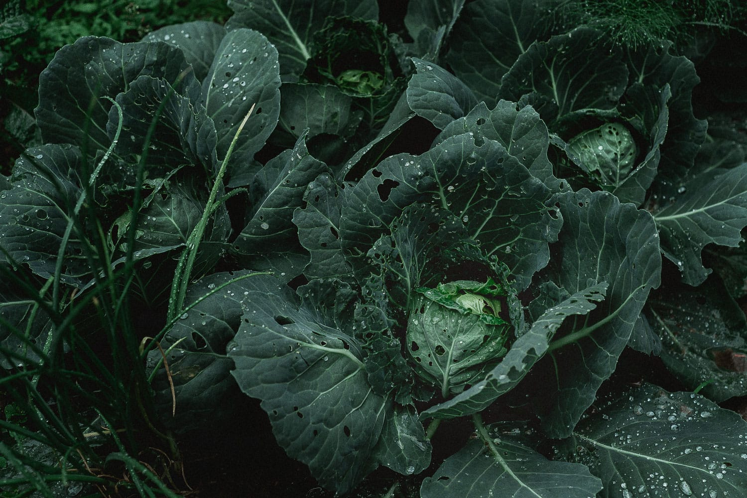 Cabbage in a garden