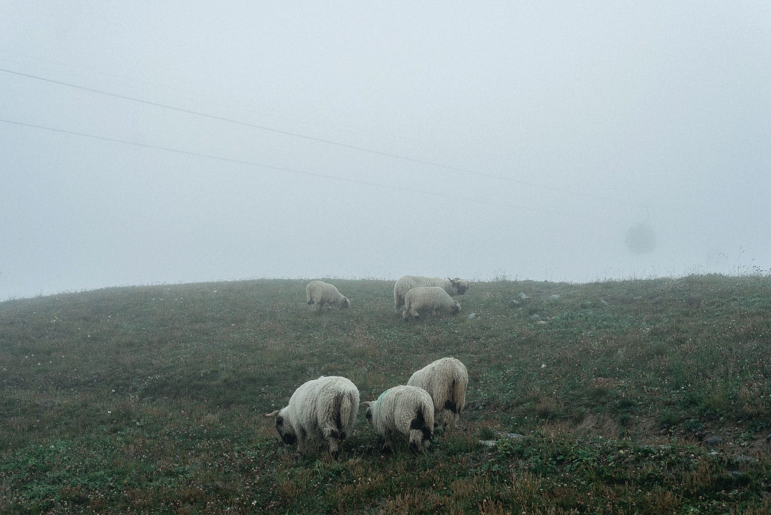 Swiss sheep in rain and fog