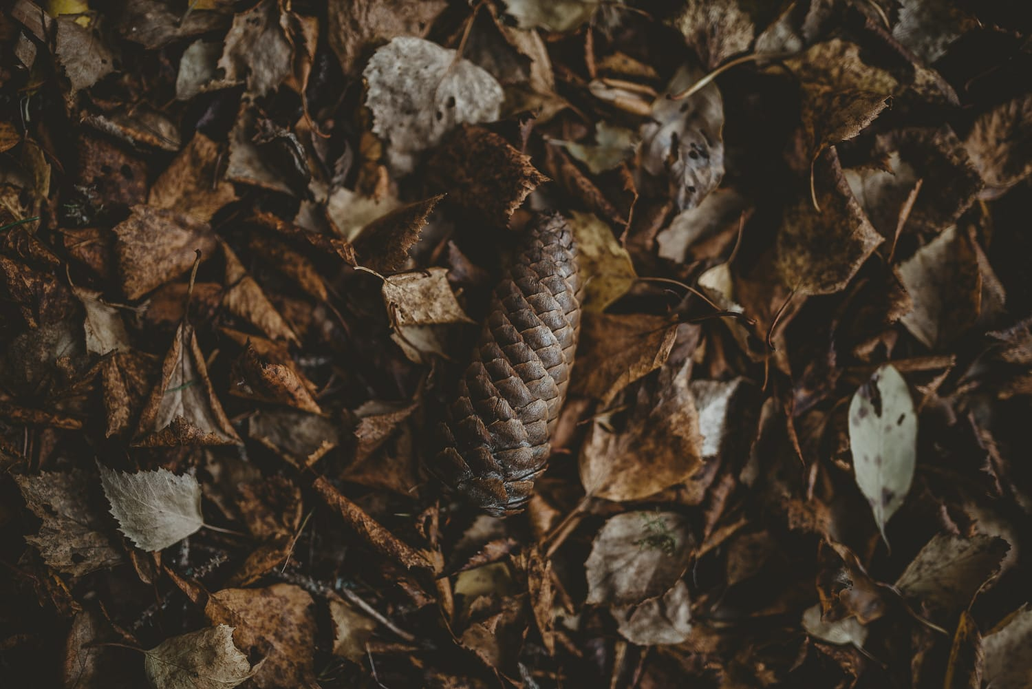 pine cone in crisp leaves