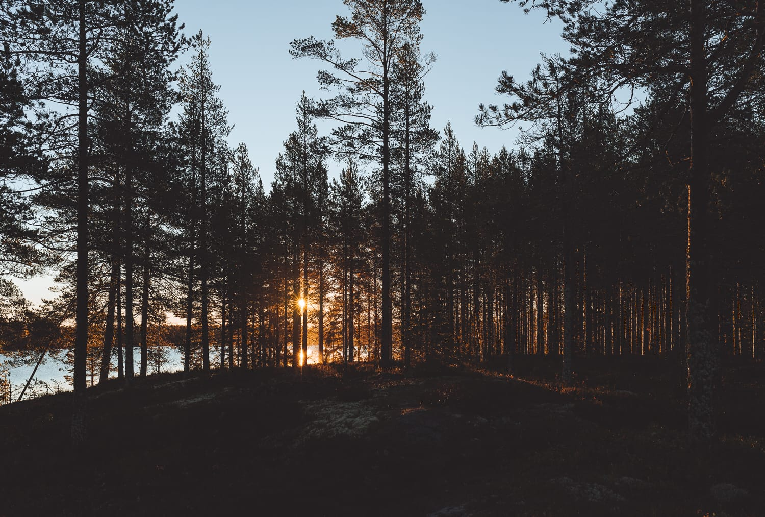 a Swedish forest during sunrise