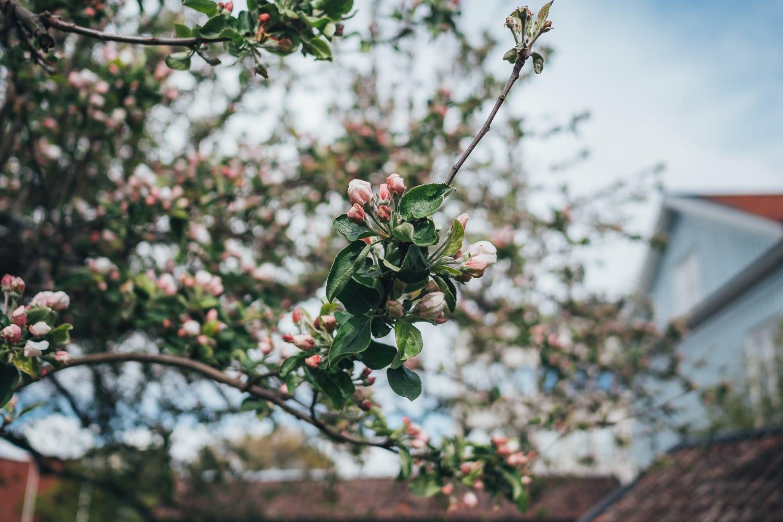 äppleträd i blom, Västerås
