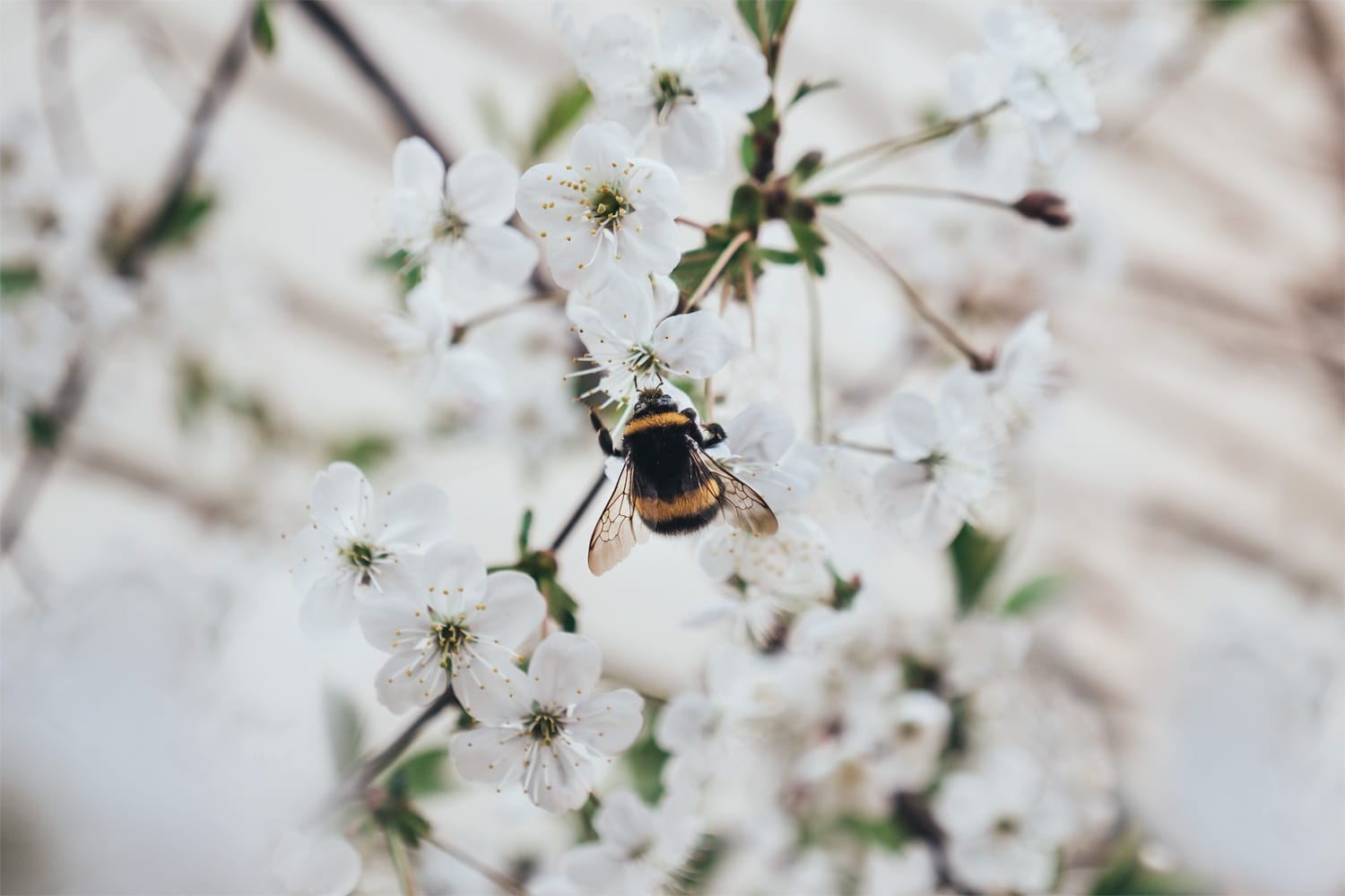 bumblebee in cherry blossom