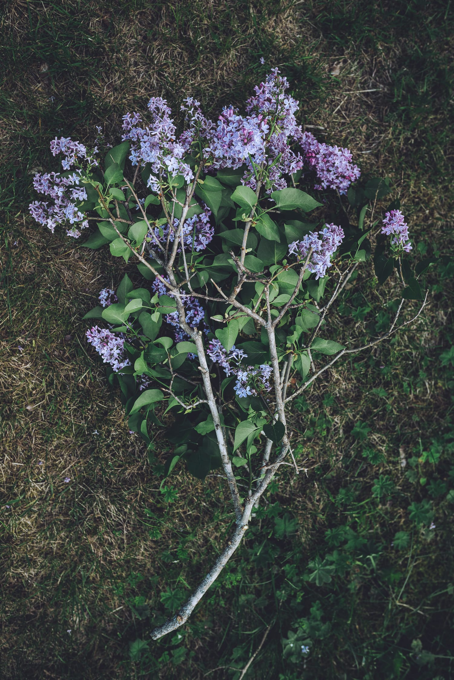 lilac branches on the ground