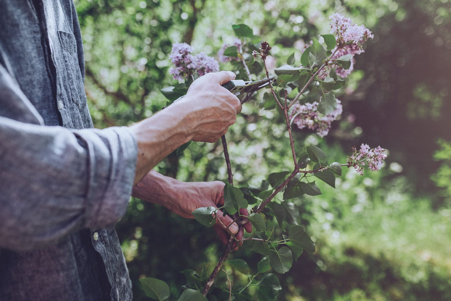 hands cutting lilac branch