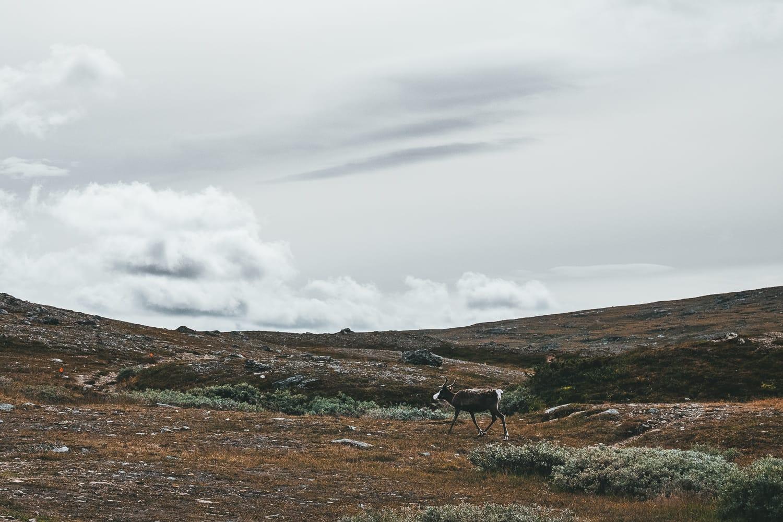 reindeer near Helags