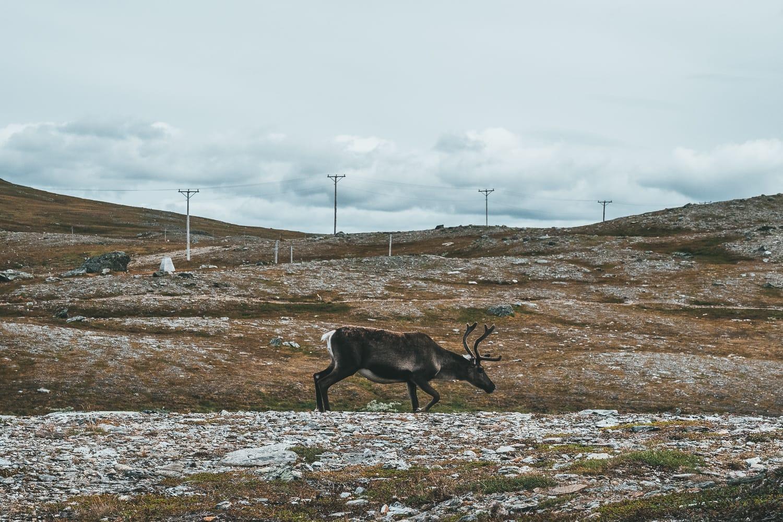 reindeer in Ljungdalen
