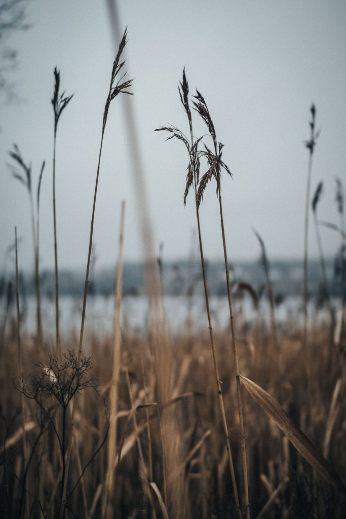 brown grass by a lake