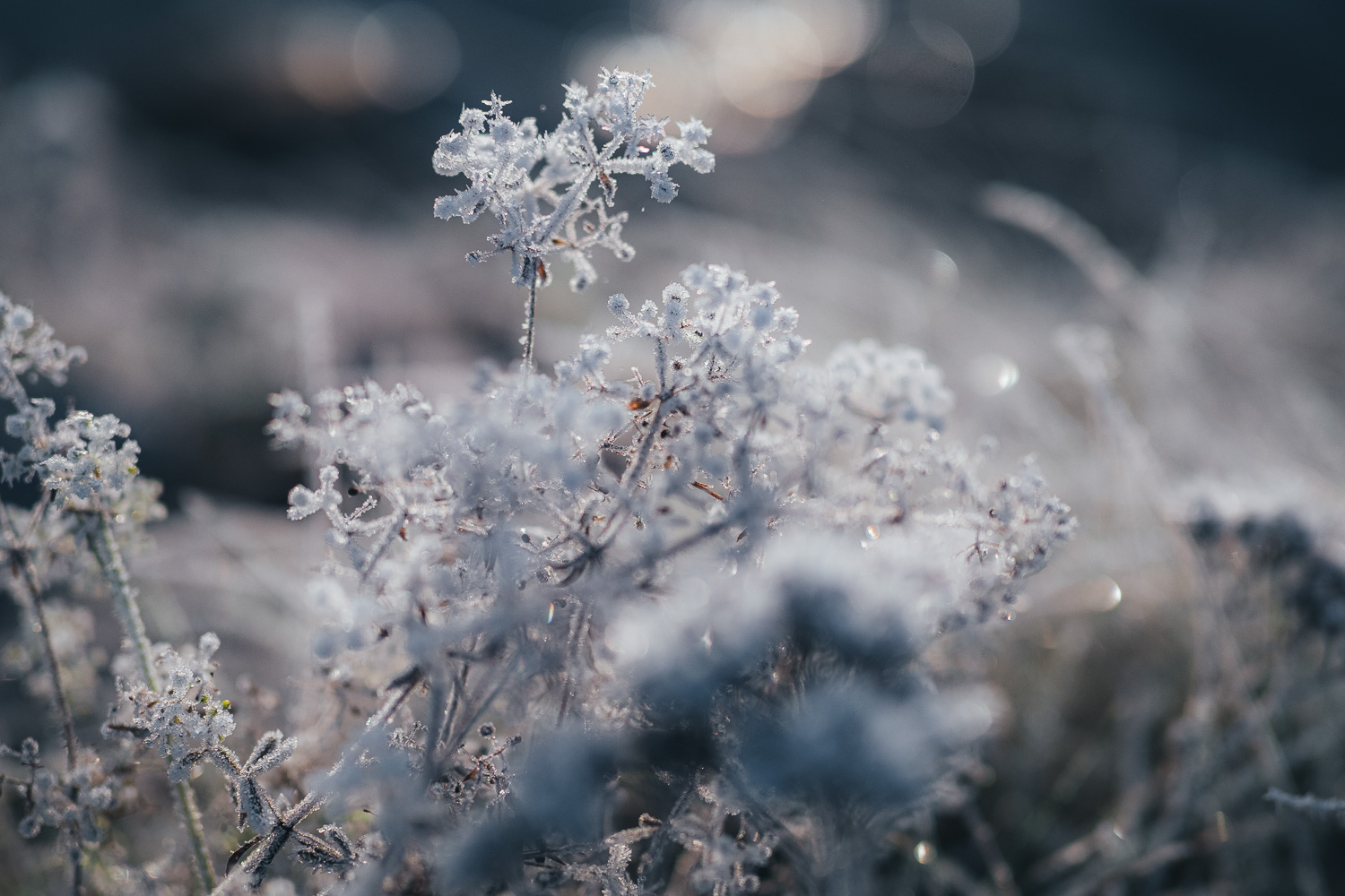 frost covered flowers