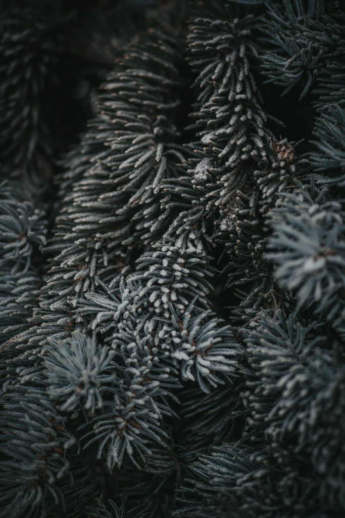 frost covered fir tree