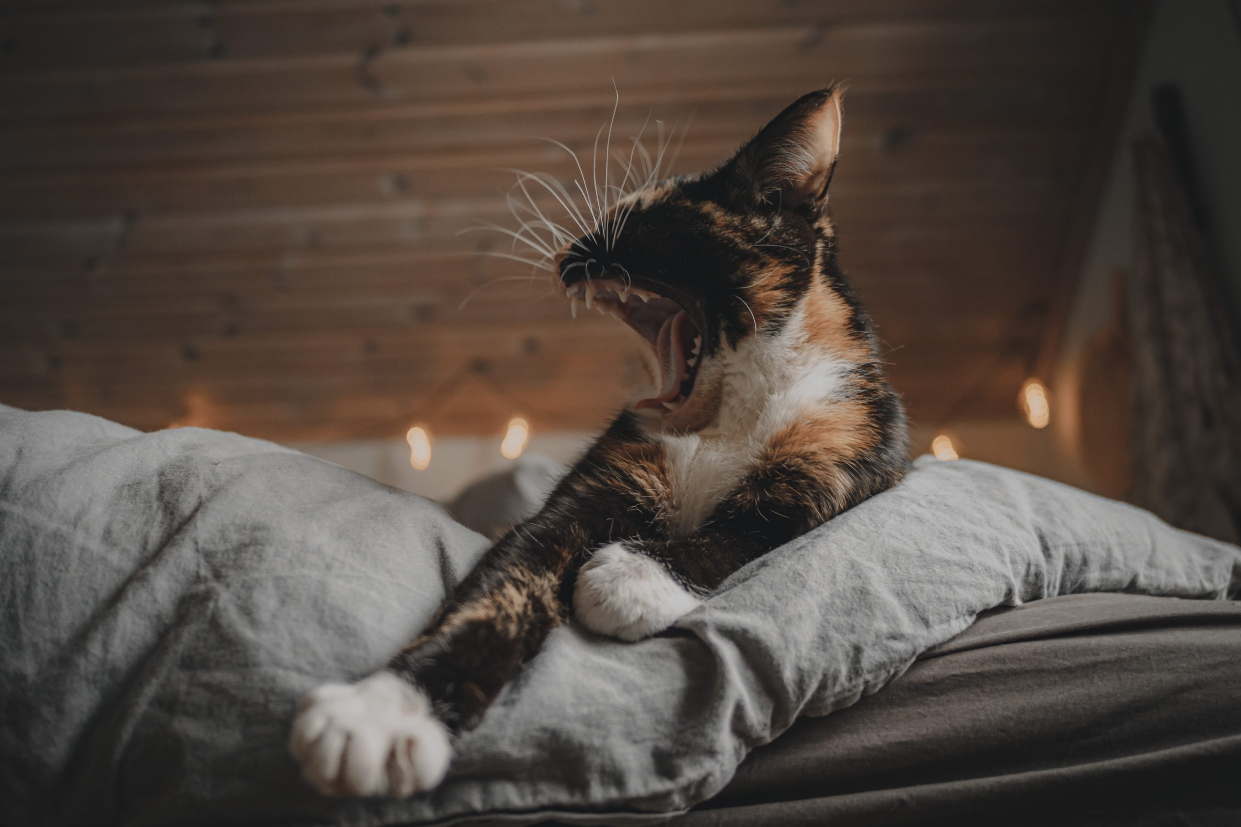 cat yawning in bed